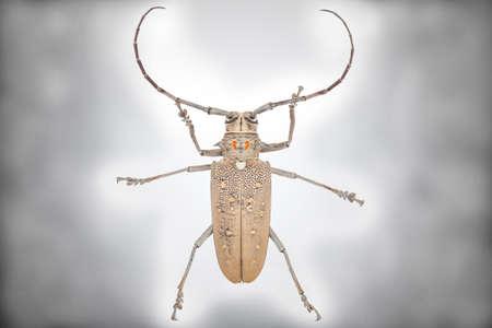 cerambycidae: Close up of a Longhorn beetle ( Coleoptera-Cerambycidae ) isolated on white background Stock Photo