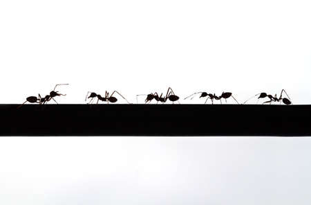 follower: silhouette of an chief ant and follower