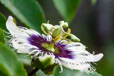 passion fruit flower (Passiflora) on green leaves background