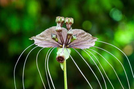 clima tropical: Bat flor o flor del diablo, crece en el clima tropical