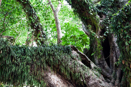 epiphyte: fern growing on a big tree in rainforest