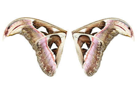grub: wing of Attacus Atlas Moth isolated on white background Stock Photo
