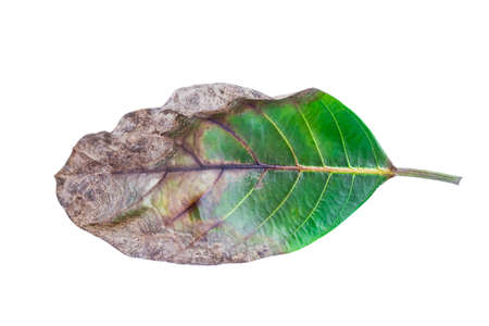 dry and green leaves isolated on white background Stock Photo