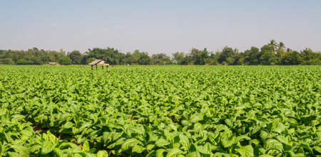tobacco plants: tobacco plants on field in northern Thailand