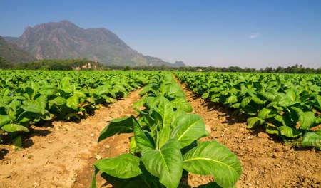 rape: plantas de tabaco en campo en el norte de Tailandia Foto de archivo