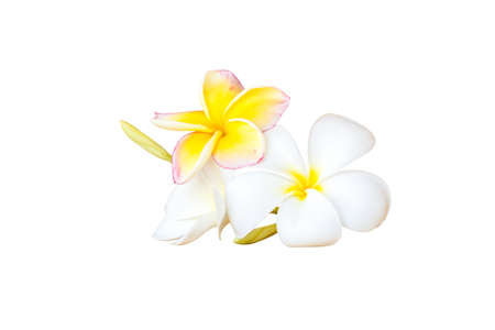 Plumeria flower isolated on white background. clipping path