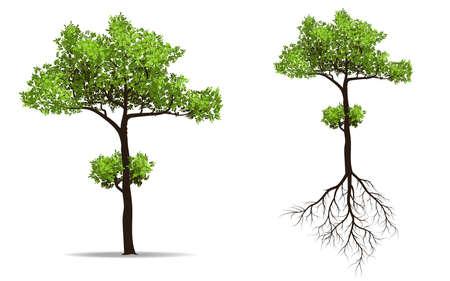 großer Baum mit Wurzel isoliert auf weißem Hintergrund, Vektor-Illustration