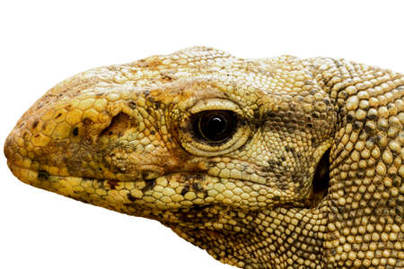head of varanus bengalensis isolated on white background