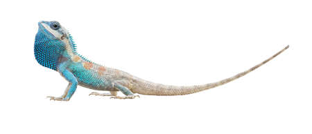 male lizard is showing mane isolated on white background with clipping path Imagens