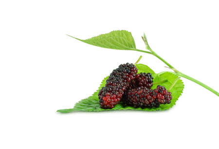 mulberries fruit on green mulberry leaves isolated on white background