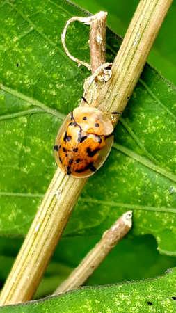 Spotted Tortoise beetle