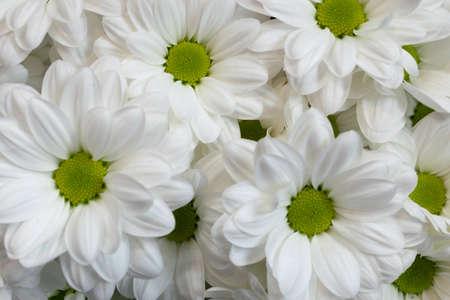 Few Beautiful White Spray Chrysanthemum Flowers