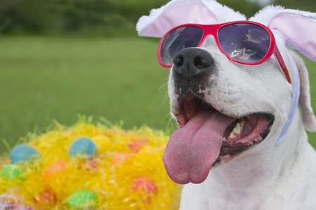 A dog wearing pink sunglasses with bunny ears and surrounded by easter eggs in plastic grass. photo
