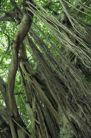 banyan: A Banyan Tree en la Florida. Una buena imagen para su uso con antecedentes, el reciclado, la naturaleza, y consciente de material verde.  Foto de archivo