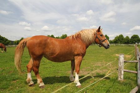 Draft horse show standing on the field Standard-Bild