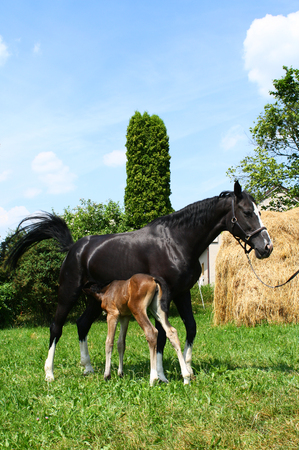 Foal with a mare on a summer pasture, two horses