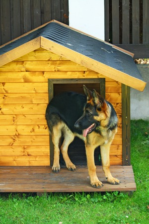 German shepherd dog standing at the hut