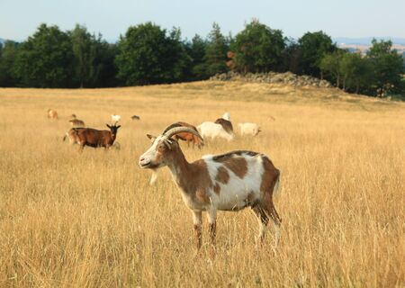 Grazing herd of goats in the fields, dry grass