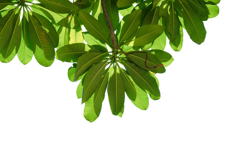 isolated green leaves on white Stock Photo