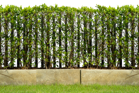hedge are grown in cement pot as a fence, along with grass field with clipping path