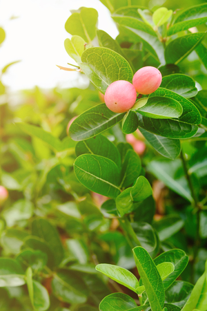 carandas fruit on tree with a green leaves in warm lighting Stock Photo