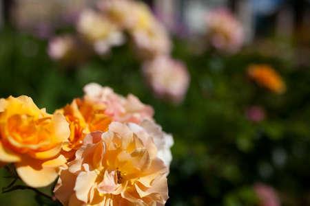 Some orange yellow roses in the garden Stock Photo