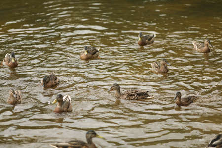 A large number of ducks swim in the pond. Summer.