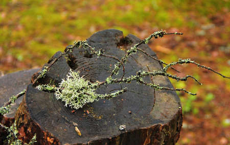 lichen on hemp