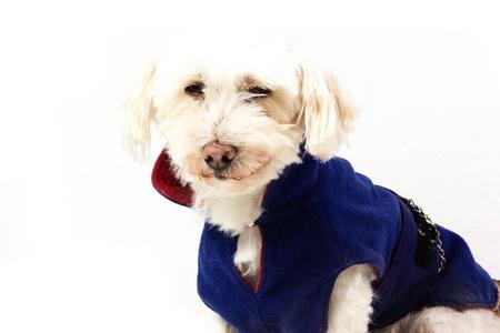 dog with coat on a white background Stock Photo