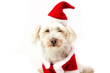 dog dressed as Santa Claus Stock Photo - 15704099
