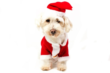 dog dressed as Santa Claus photo