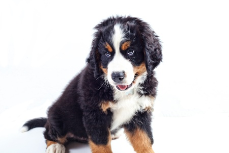 Puppy dog bernese mountain dog on a white background photo