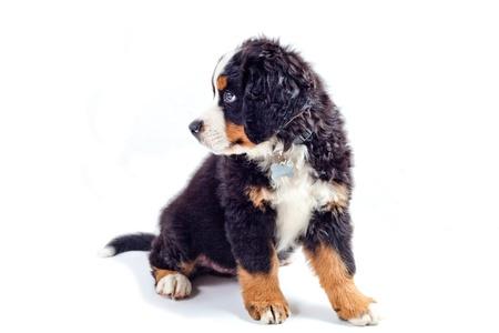 familiaris: Puppy dog bernese mountain dog on a white background