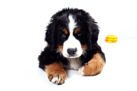 Puppy dog bernese mountain dog on a white background