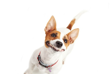 Jack Russell Terrier  dog on a white background