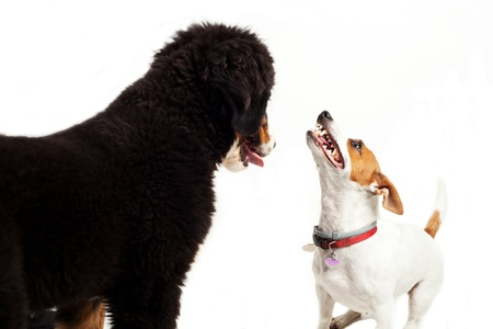 two dog play on a white background  Bernese mountain dog and jack russel photo