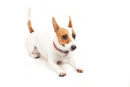 Jack Russell Terrier  dog on a white background photo