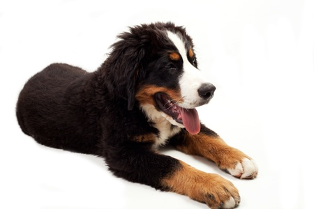Bernese Mountain Dog on the white background photo