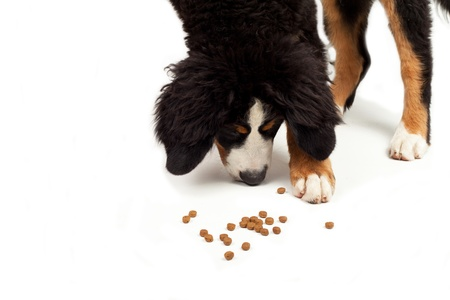bernese Mountain Dog that eating on a white background photo