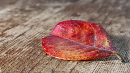 evocative: red leaf on an old wooden base Stock Photo