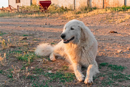 herding dog: alone Maremma Sheepdog in outdoor