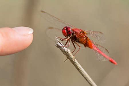 sprig: red dragonfly on sprig near human finger