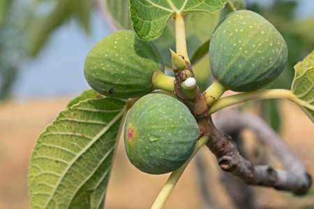 branch of fig tree with nectar Banco de Imagens