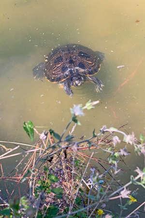 vegetation: turtle in lake water near the vegetation
