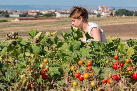 campesino: campesino recoger tomates Foto de archivo