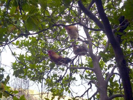 chickens tree