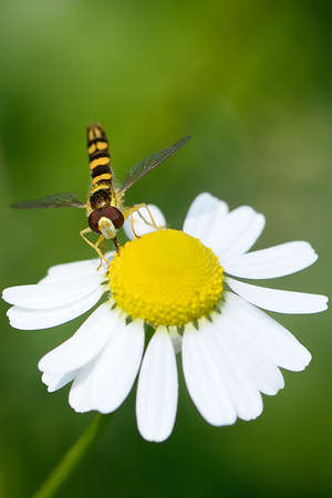 sucking: Common wasp sucking nectar from a flower of chamomile.