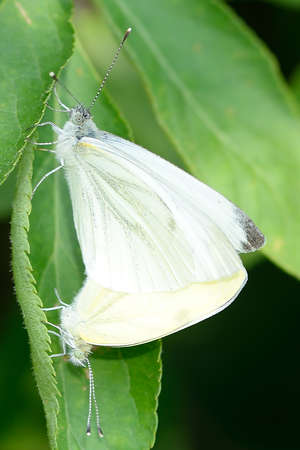 Butterflies in coupling phase. Stock Photo