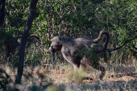 Scene of a african baboon running in the bushes. Stock Photo