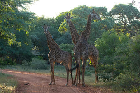 Three giraffes together looking a the camera on a reserve.